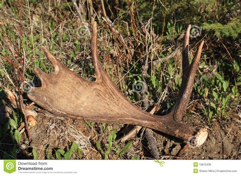 Moose Antlers Shed by Moose Antler Shed Royalty Free Stock Image Image 15612436