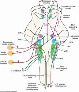 Vestibular tracts