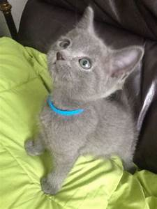 Cute and lovely white Russian blue kittens Offer St. julians