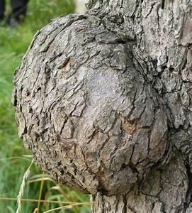 Wucherungen An Pflanzen : bakterienkrebs wucherungen an baumstamm jk 39 s pflanzenblog ~ Buech-reservation.com Haus und Dekorationen