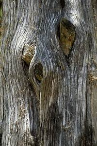 Tree Knot Pattern Free Stock Photo