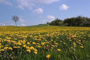 Kokos Blumenerde Für Welche Pflanzen : kr uterspaziergang l wenzahn g nsebl mchennatur coaching natur erlebnisse ~ Orissabook.com Haus und Dekorationen