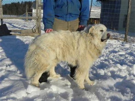 Great Pyrenees Shedding by Ivanh 246 E Aka Ivan