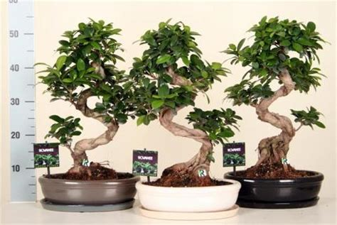 Type Of Christmas Trees by Ficus Microcarpa Ginseng S Type Netplant We Export