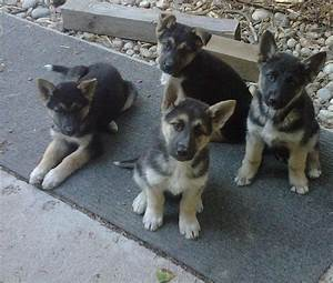 German shepherd husky mix information, pictures and videos