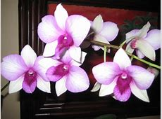 Christmas OrchidColumbia National Flower – Wallpapers9