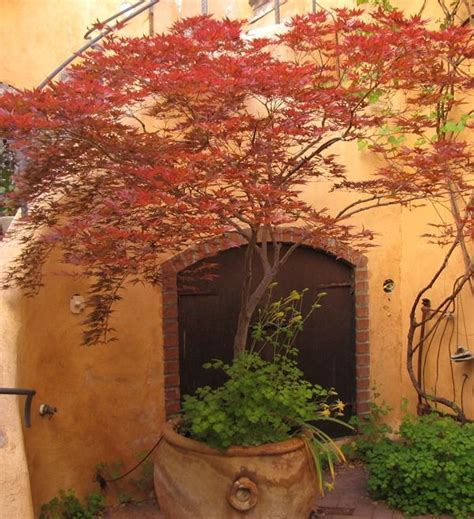 japanese maple in pot into the garden