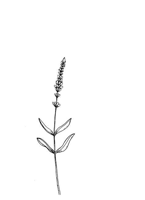 Lavender flower sketch | Lavender tattoo, Flower sketches