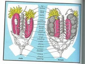 Urogenital System