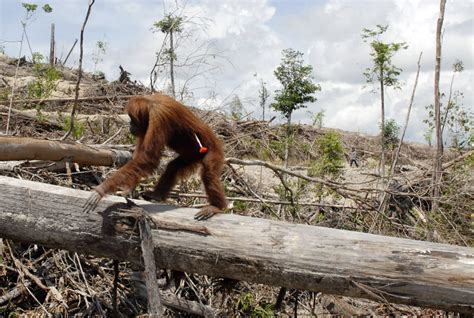 amazon artificial trees uk how palm production has changed for the orangutan