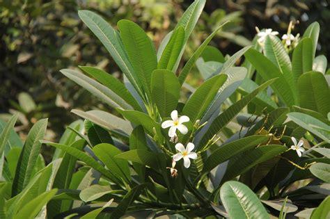 fiori molto profumati passaggio in india alberi e arbusti fioriti giardini in