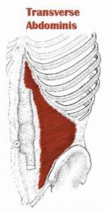 The Definitive Guide To Transversus Abdominis Anatomy
