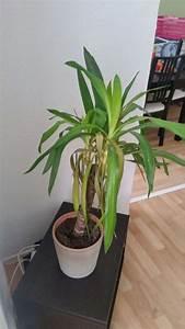 Gummibaum Lässt Blätter Hängen : palmlilie l sst bl tter h ngen und verf rbt sich was tun seite 1 palmen ~ Bigdaddyawards.com Haus und Dekorationen