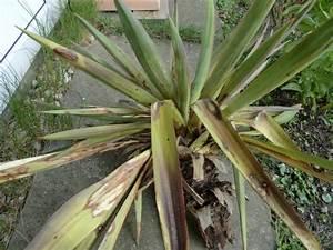Yucca Palme Braune Blätter : yuccas agaven co yucca gloriosa knickte ab ~ Lizthompson.info Haus und Dekorationen