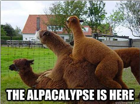 Alpaca Sheep Meme - 10 alpacalypse memes to make you very nervous