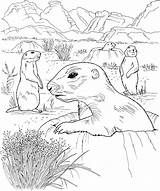 Prairie Dog Coloring Grassland Drawing Dogs Animals Wildlife Hole Poking Nature Getdrawings Activities Popular Drawings sketch template