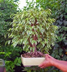 Ficus Bonsai Schneiden : hilfe mein bonsai hat kleine pilze und schimmel pflanzenkrankheiten sch dlinge ~ Indierocktalk.com Haus und Dekorationen
