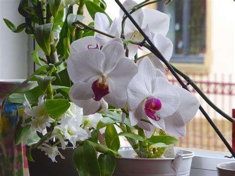 comment entretenir une orchidée comment entretenir une orchidee apres la floraison maison retraite chfleuri