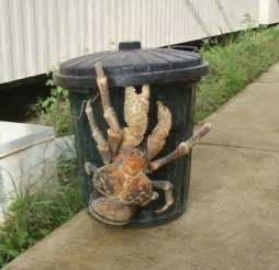 10 Ft Black Christmas Tree by The Coconut Crab Lives On Land And Climbs Trees To Eat