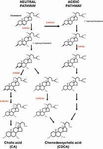 Biosynthetic Pathways Of Bile Acids  Two Major Pathways