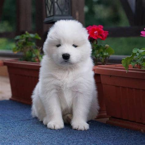 Samoyed Puppies For Sale Salt Lake City Ut 297404