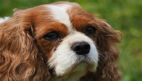 dog coughs dog coughing types