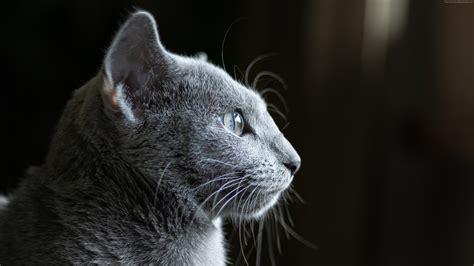 wallpaper cat grey  animals wallpaperbacknet