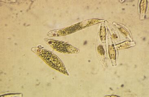 euglena  vogley webpage