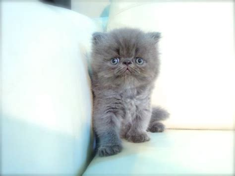 Persian Kitten Sold  2 Months, Cfa Flat Face High Nose