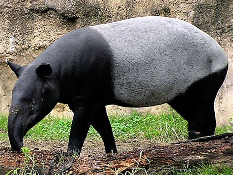 Malayan Tapir-endangered Animals List-our Endangered