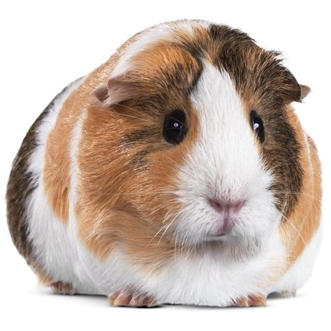 Buy Live Guinea Pigs For Sale