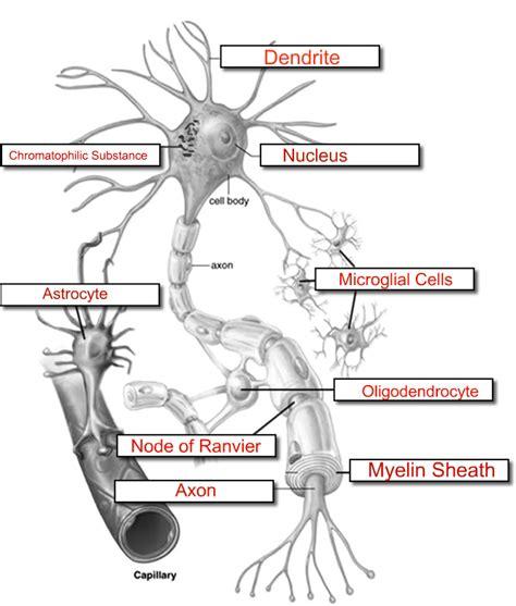 label a neuron worksheet neuron label