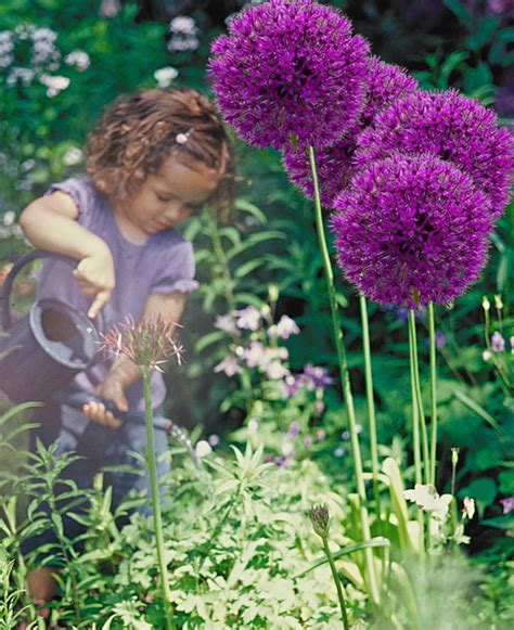 allium bulbs for sale buy allium bulbs today