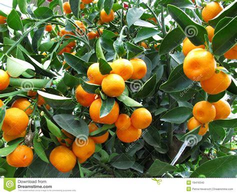 pohon jeruk orange tree stock photo image 19416340