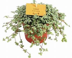 Pilea Pflanze Kaufen : kanonierblume floraself pilea depressa h 15 20 cm 10 5 ~ Michelbontemps.com Haus und Dekorationen