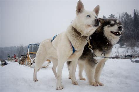 NYE Dog Sledding in Quebec : Luke Cyca Dot Calm