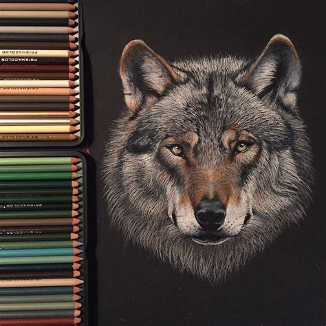 wolf drawing   prismacolor pencils  black paper