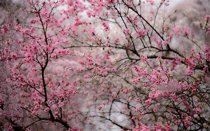 Blossom Cherry Japanese Desktop Background Wallpapers Kyoto