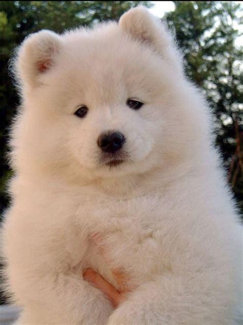 Samoyed Puppy I Need This Dog Animals Pinterest