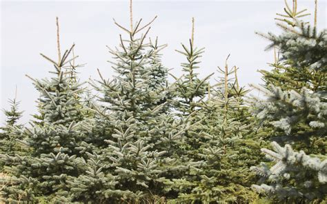 7 tips for preserving a living christmas tree