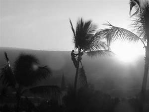 Palme Schwarz Weiß : mann auf palme kona schwarz weiss photo ~ Eleganceandgraceweddings.com Haus und Dekorationen