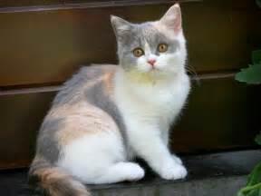 cutest cat breeds top 15 most cutest cat breeds animals