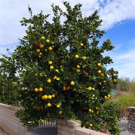 citrus salad tree desert gardening farming by the foot