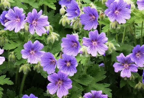hardy geranium a word a week challenge violet travel words
