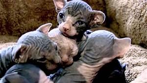 baby sphynx kittens