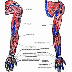 Muscles Of The Arm Diagram