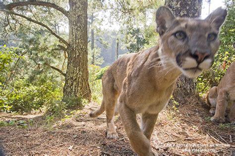cougar sebastian seabass kennerknecht nature