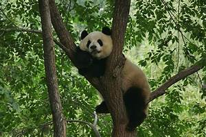 In the wild, a giant panda's diet is almost exclusively ...