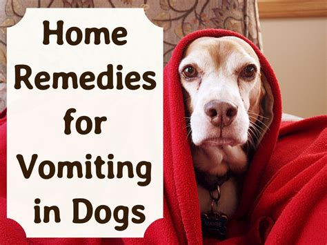 effective home remedies  vomiting dogs pethelpful