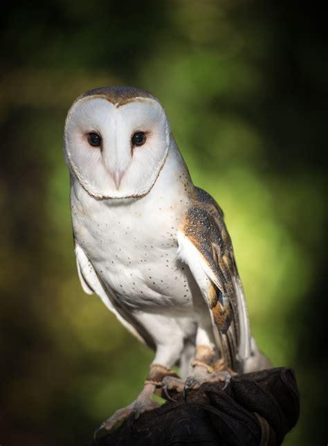barn owl lindsay wildlife experience